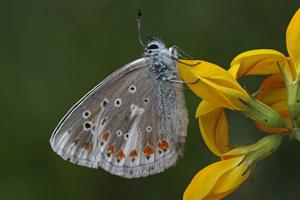 Kleiner Schmetterling sitzt mit gefalteten Flügeln auf einer gelben Blüte.