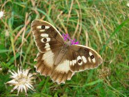 Großaufnahme eines braun-weiß gefärbten Schmetterlings mit aufgeschlagenen Flügeln.
