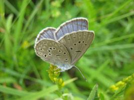 Kleiner blauer Schmetterling sitzt mit zusammengefalteten Flügeln auf einer Blütenrispe.