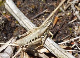Eine graubraun gefärbte Heuschrecke sitzt auf einem dürrem Ast in gleicher Farbe.
