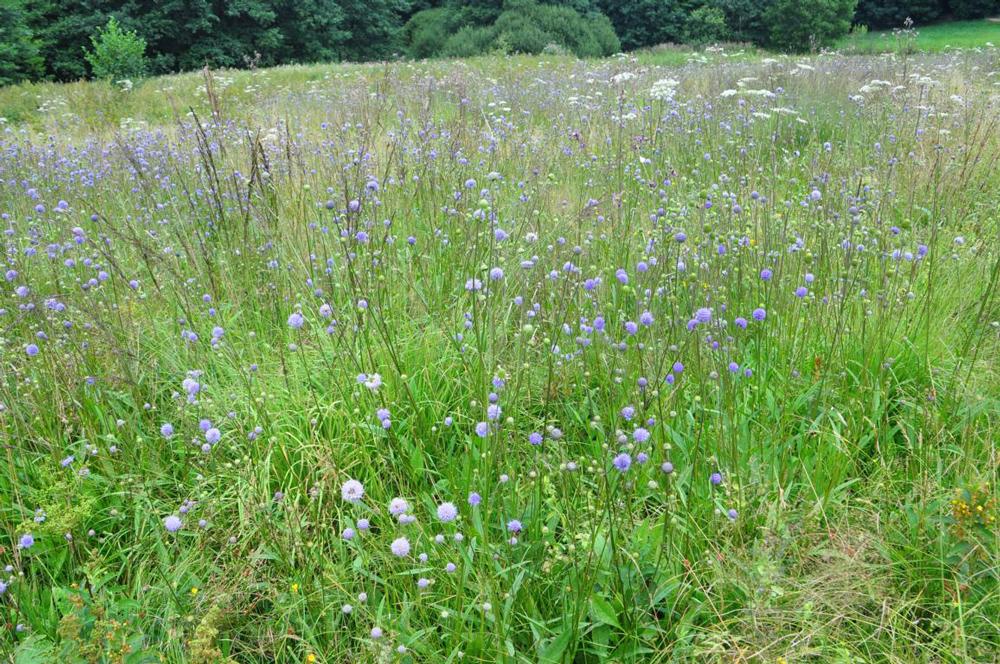Wiese voller hoher Wildblumen mit violetten Blütenköpfen.