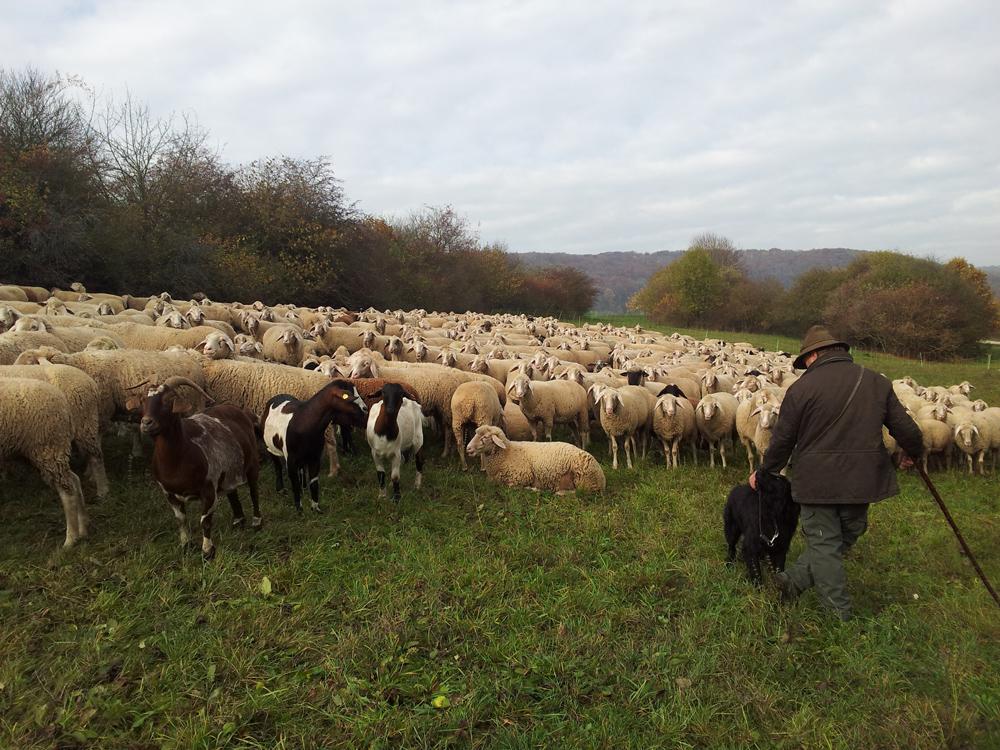 Eine große Schafherde mit Schäfer.