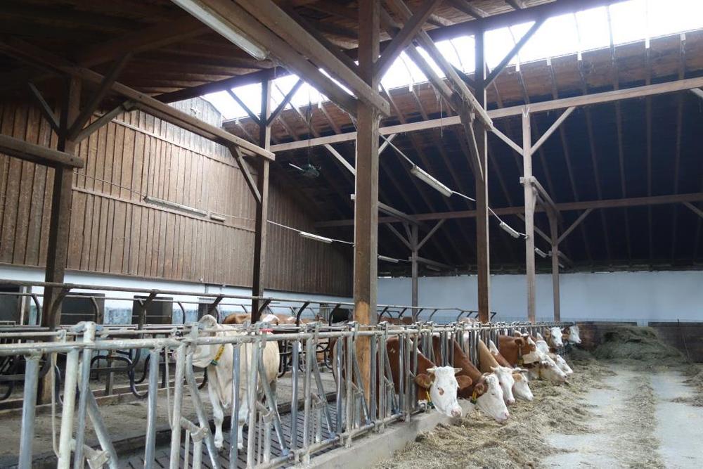 In einem moderne geräumigen Kuhstall mit hohem Dach stehen etwa ein Dutzend Kühe und fressen Heu.