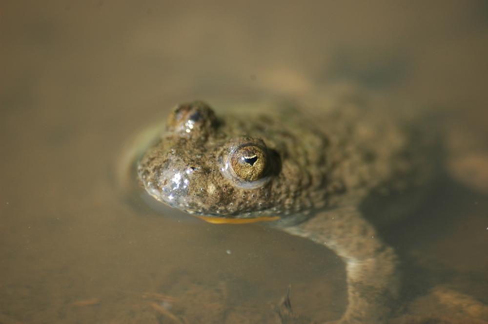 Nahaufnahme einer braunen Kröte, die ihren Kopf aus dem Wasser streckt.