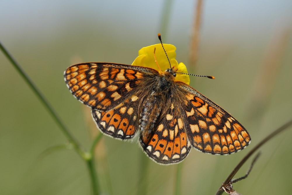 Ein Goldener Scheckenfalter sitzt mit ausgebreiteten Flügeln auf einer gelben Blüte.