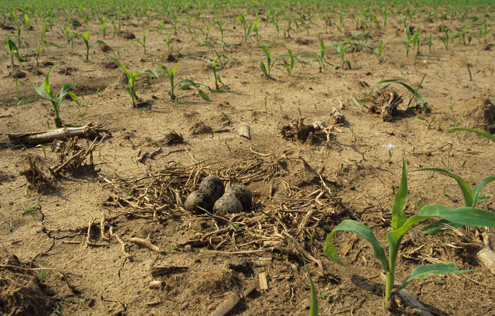 Ein Kiebitznest mit vier Eiern zwischen frisch ausgekeimten Maispflanzen.