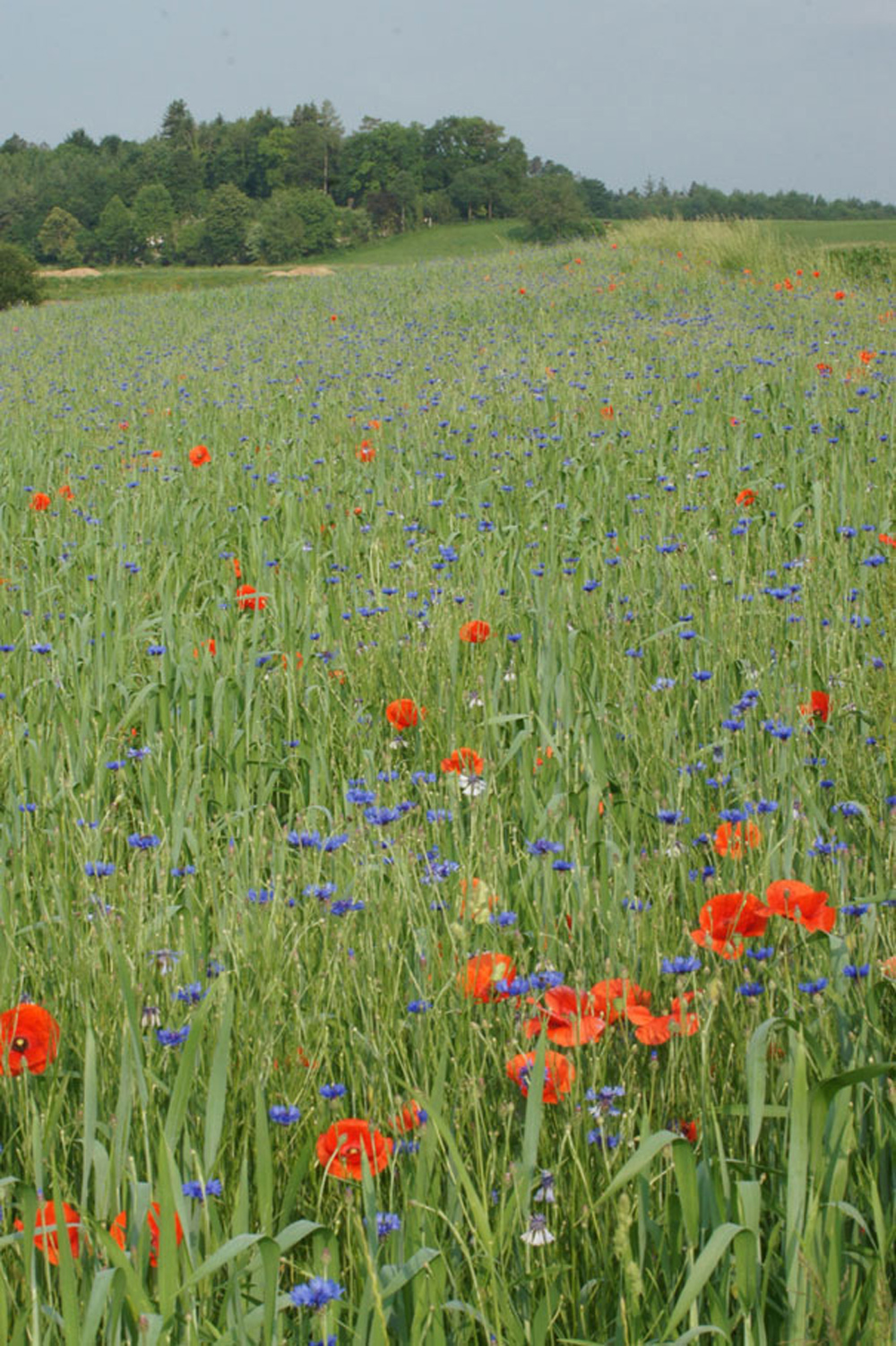 Ein Acker mit roten und blauen Wildblumen zwischen noch grünen Getreidehalmen.