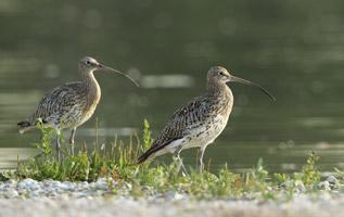 Auf dem Foto sind zwei Große Brachvögel abgebildet. Ihr gesprenkeltes Gefieder glänzt im Sonnenlicht. Das Paar steht auf einem schütter bewachsenen Kiesufer. Im Hintergrund spiegelt sich die Wasserfläche.