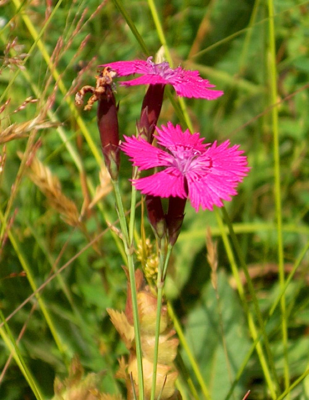 Nahaufnahme einer wilden Nelke mit zwei intensiv pink leuchtenden Blüten.