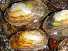Drei große länglich-ovale, bräunlich-weiße Muscheln liegen im seichten Wasser.