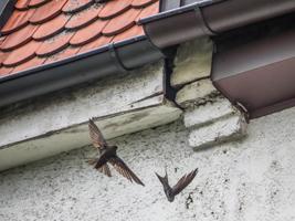 Zwei Vögel fliegen in der Nähe einer Maueröffnung unterhalb der Dachrinne an einem Hausdach.