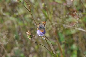 Schwarzer Schmetterling mit orangen Flecken sitzt mit ausgebreiteten Flügeln auf einer violetten Blüte.