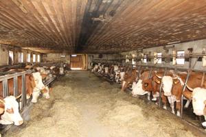 Blick in einen Kuhstall mit niedriger Holzdecke, in dem beidseits des Mittelganges mehrere Dutzend Kühe an Gittern angebunden sind und Heu fressen.