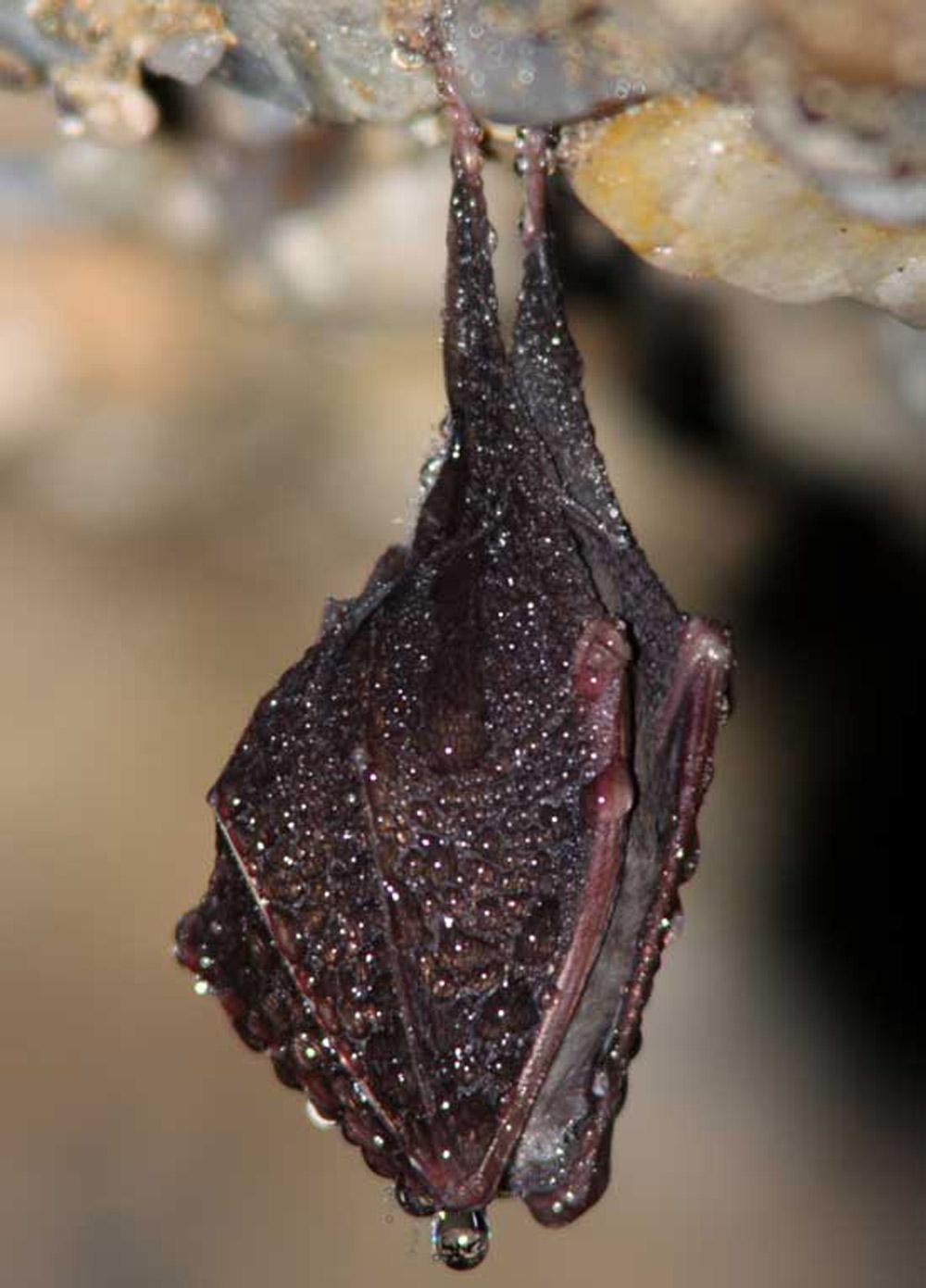 Eine Kleine Hufeisennase hängt kopfüber von einer Gesteinsdecke, eingehüllt in ihre Flügel.