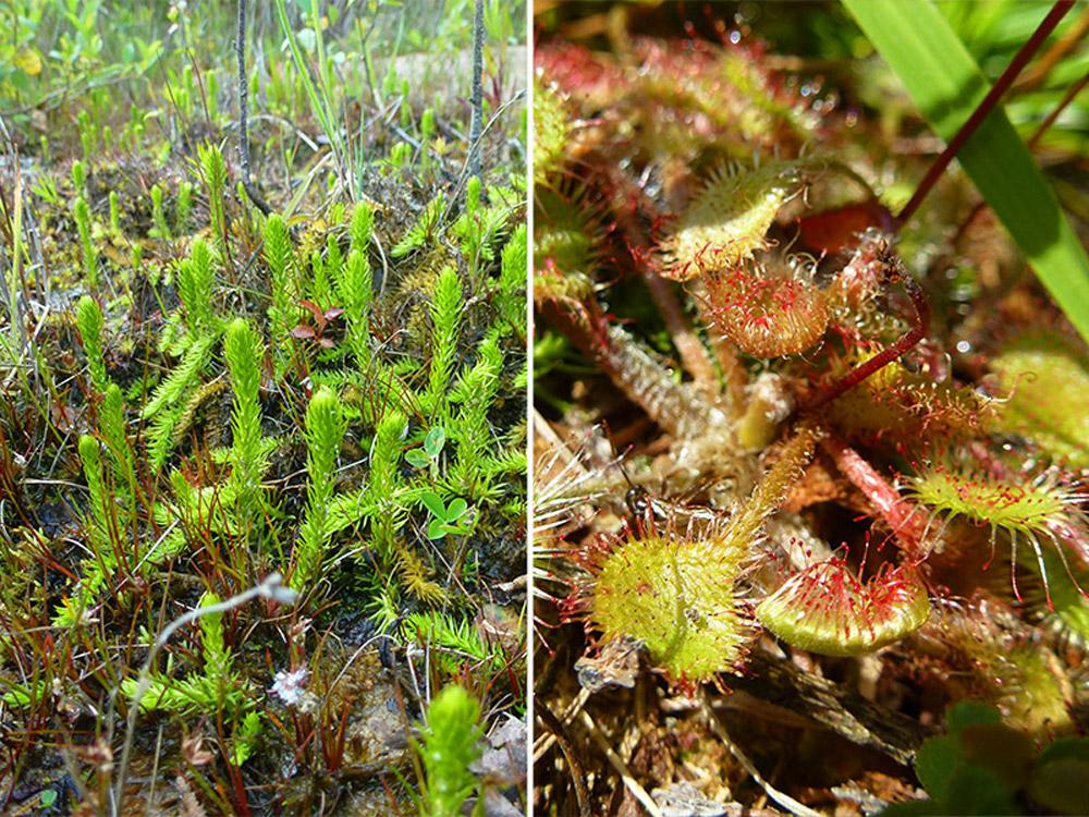 Sumpfbärlapp (Lycopodiella inundata); Rechts im Bild: Rundblättriger Sonnentau (Drosera rotundifolia).