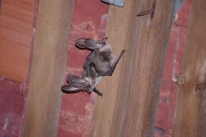 Zwei Fledermäuse mit auffällig großen Ohren hängen in einem mit Ziegeln bedeckten Dachstuhl.