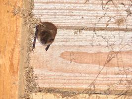 Eine kleine Fledermaus krallt sich an den Holzlatten eines Dachstuhls fest. Weitere hundert Fledermäuse hängen ebenfalls im Dachstuhl.