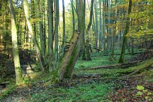 Ausschnitt eines Erlenbruchwaldes mit Bäumen aller Altersklassen, Totholz am Ufer eines Waldbaches.