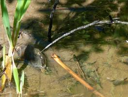 Im seichten Wasser, halb im Schlamm vergraben, liegt eine Muschel und spritzt einen Wasserstrahl nach rechts oben.