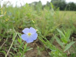 Blüte und junger Fruchtstand von Linum perenne mit zart lavendelfarbener Blüte und aufrechtstehendem Fruchtstiel.