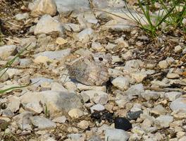 Kaum zu erkennen, weil ähnlich gefärbt wie der Untergrund, sitzt ein Schmetterling mit gefalteten Flügeln auf steinigem Boden.