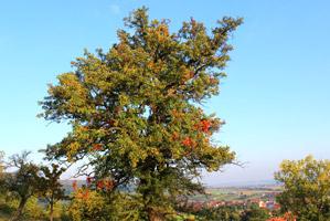Großer, reich verzweigter Baum vor blauem Himmel.