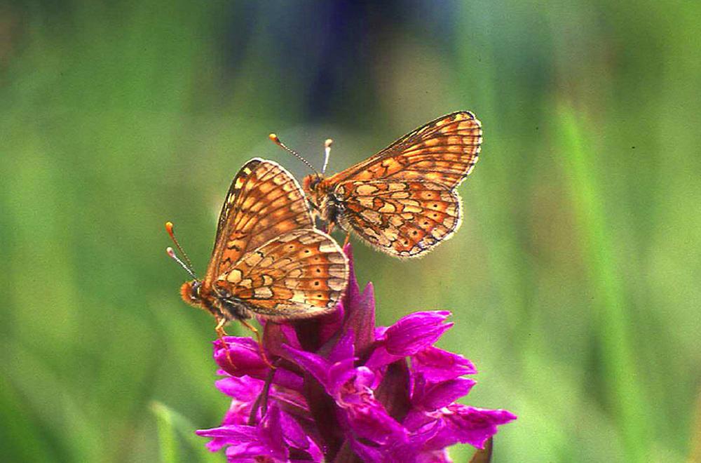 Zwei orange-braun gemusterte Schmetterlinge sitzen mit gefalteten Flügeln auf einer magentafarbenen Orchideenblüte.