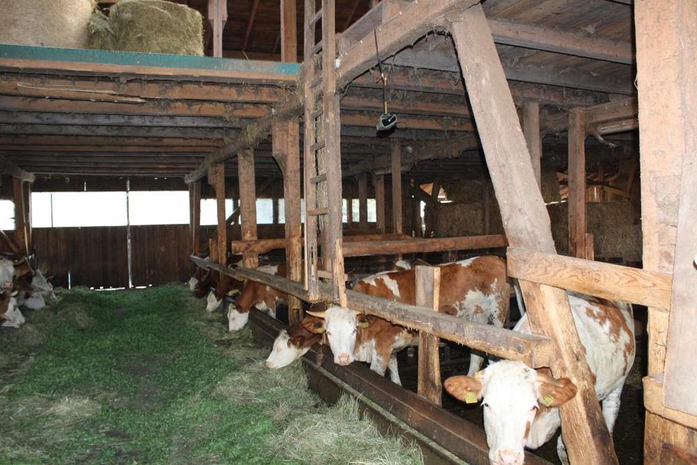 Blick in einen Kuhstall mit mehreren Kühen, die am Boden aufgehäuftes frisches Gras fressen.