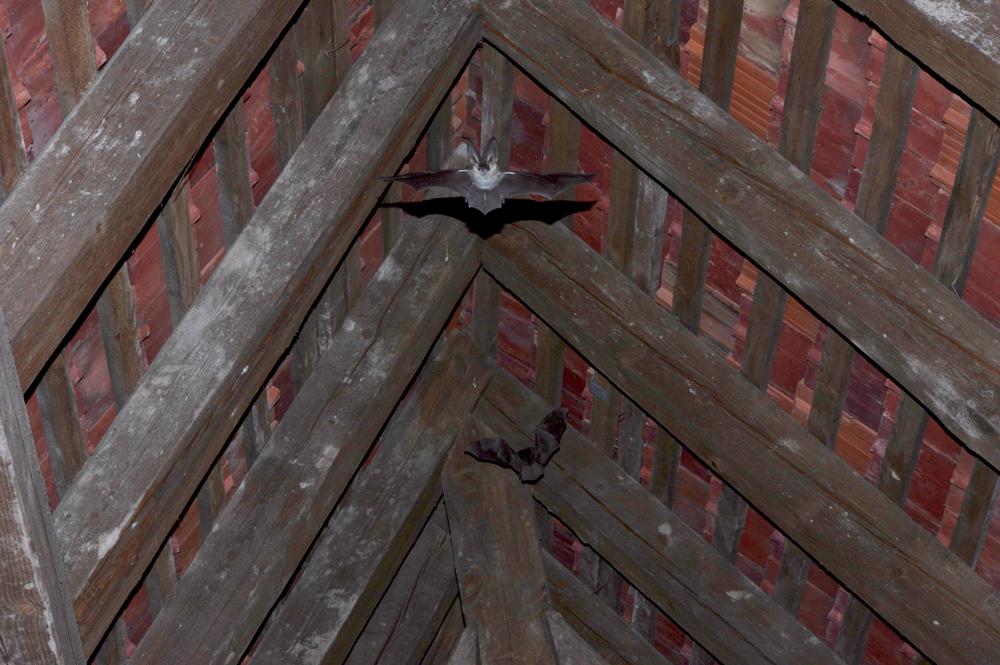 Zwei Fledermäuse mit ausgebreiteten Flügeln kurz vor dem nächtlichen Ausflug aus einem Dachstuhl.