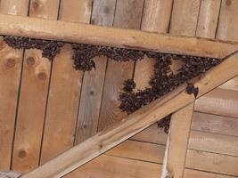 In einem Winkel eines von Holzbrettern geformten Dachgestühls hängen mehrere Dutzend Fledermäuse.
