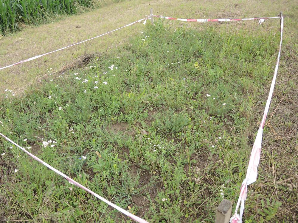 Mit Absperrband umzäunte Wiesenfläche mit lückigem Boden.