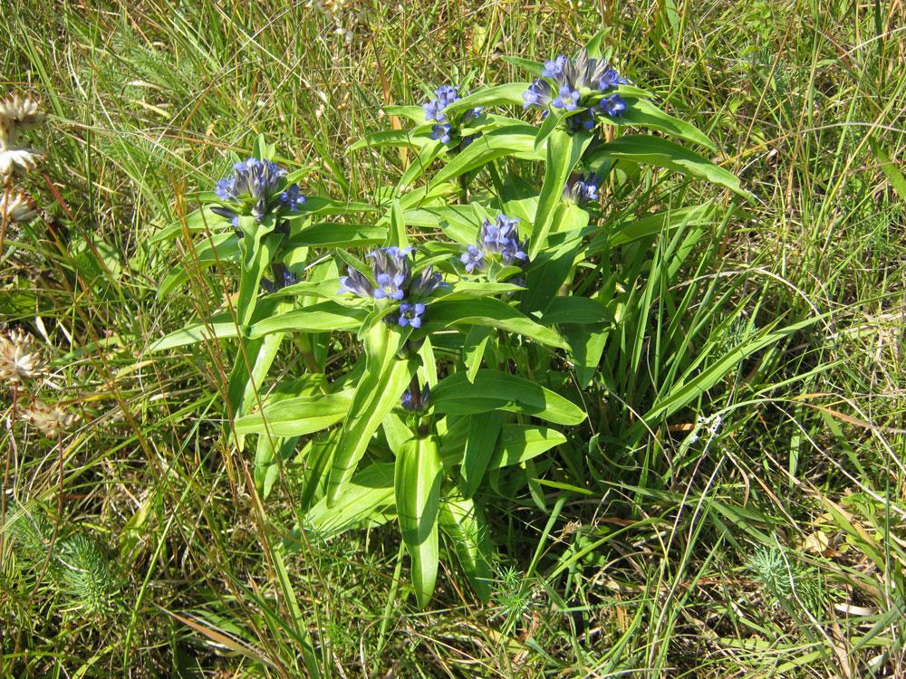 Eine blau blühende Wildstaude mit mehreren Trieben.