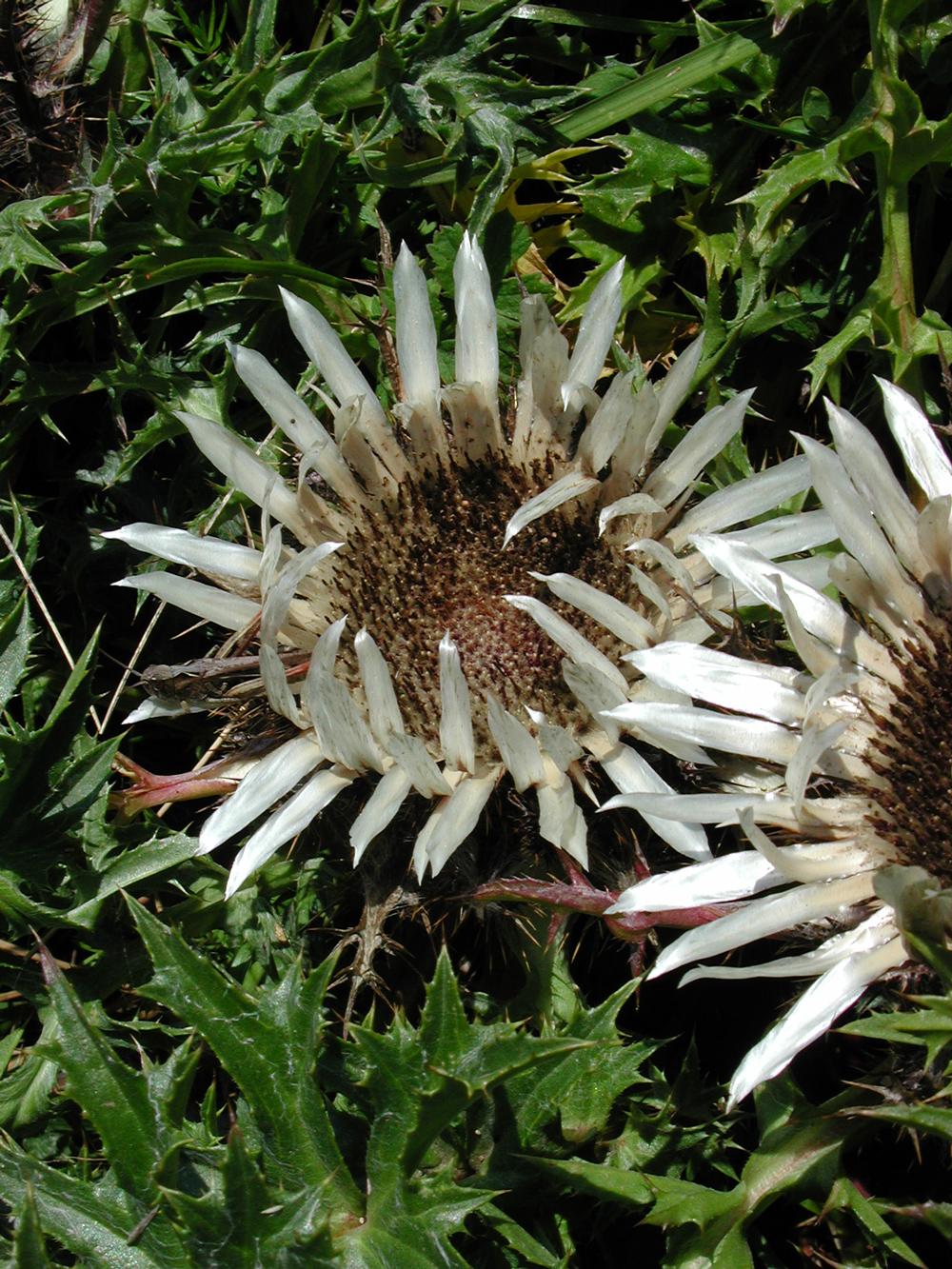Zwei Blüten der Silberdistel in Nahaufnahme.
