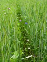 In einem Getreidefeld stehen 2 Reihen weiter auseinander. Ackerwildkräuter wachsen in der entstandenen Lücke