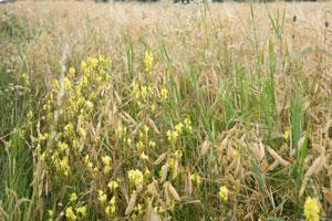 Ein Getreidefeld mit mehreren Ackerwildkräutern