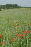 Buntes Feld des Laufener Landweizens im Bioanbau