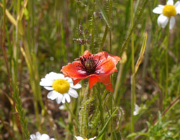 Fraßspuren der Mohnbiene an den Blütenblättern des Klatschmohns