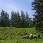 Flock of sheep with a shepherder on an alpine pasture, in the background are some spruces.