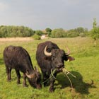 Two eating water buffalo in the evening light.