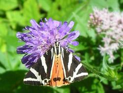 Großaufnahme eines farbenprächtigen Schmetterlings, dessen Vorderflügel schwarz mit weißen Streifen und die Hinterflügel orange mit schwarzen Flecken sind.