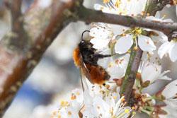 Eine Wildbiene sitzt auf einer Schlehenblüte.