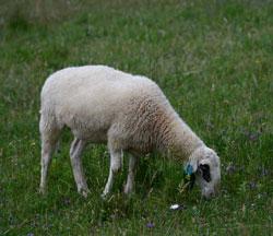 Schaf mit schwarzem Fleck um die Augen, fressend auf einer artenreichen Weide.