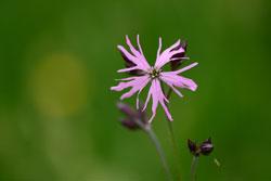 Einzelpflanze der Kuckucks-Lichtnelke mit drei zerfransten Blüten.