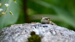 Zauneidechse auf einem Felsen