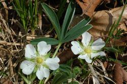 Nahaufnahme zweier weißer Blüten einer Art mit einem geteilten, behaarten Blatt.