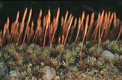 Das Glashaartragende Frauenhaarmoos auf sandigem Untergrund mit jungen, rötlichen, behaarten Sporogonen.