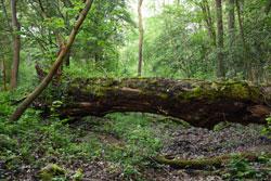 Auenwald mit einer quer über einer Flutrinne liegenden abgestorbenen dicken Eiche.