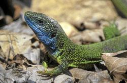 Nahaufnahme eines männlichen Exemplars der Östlichen Smaragdeidechse mit auffällig blau gefärbtem Hals und grünem Körper auf braunen Laublättern.