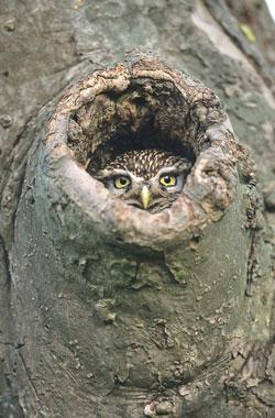 Fast vollständig in einer ausgefaulten Asthöhle eines dicken Buchenstamms verborgen ist das Gesicht eines Steinkauzes zu erkennen.