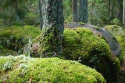 Vor mehreren dicken Baumstämmen liegen große Steinblöcke auf dem Boden, die dick von einer Moos- und Flechtenschicht überwachsen sind.